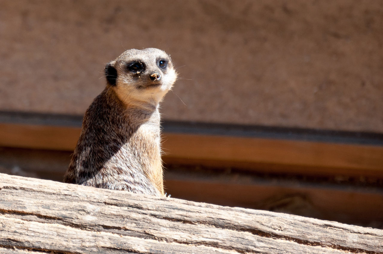 Suricate Zoo De Pessac Animal