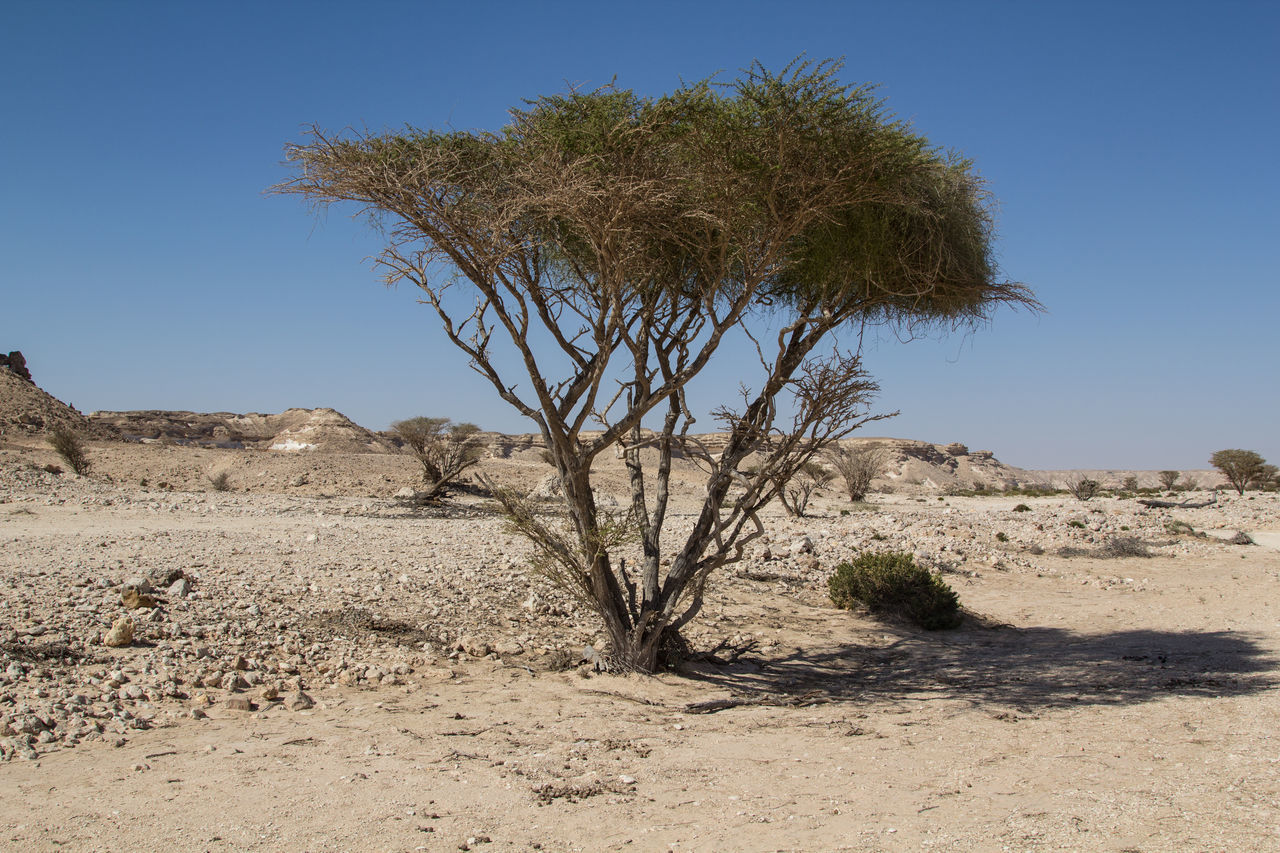 tree, nature, desert, no people, growth, sand, clear sky, sky, beauty in nature, day, outdoors, scenics, single tree, cactus