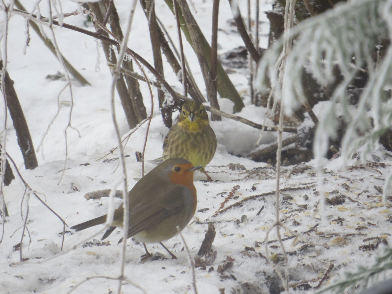 Robin and Yellowhammer Animals Animals In The Wild Bird Cold Temperature No People Outdoors Perching Robin Snowy Winter Yellowhammer Animal Themes Capture The Moment Save The Nature From My Point Of View Taking Photos Animal Wildlife Nature Snow