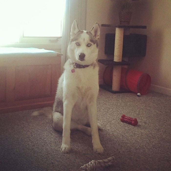 Meeka, the female. Chief gets jealous and doesn't let me get close enough to play with her lol. Huskylovers Huskies Husky Animallover animals dogs