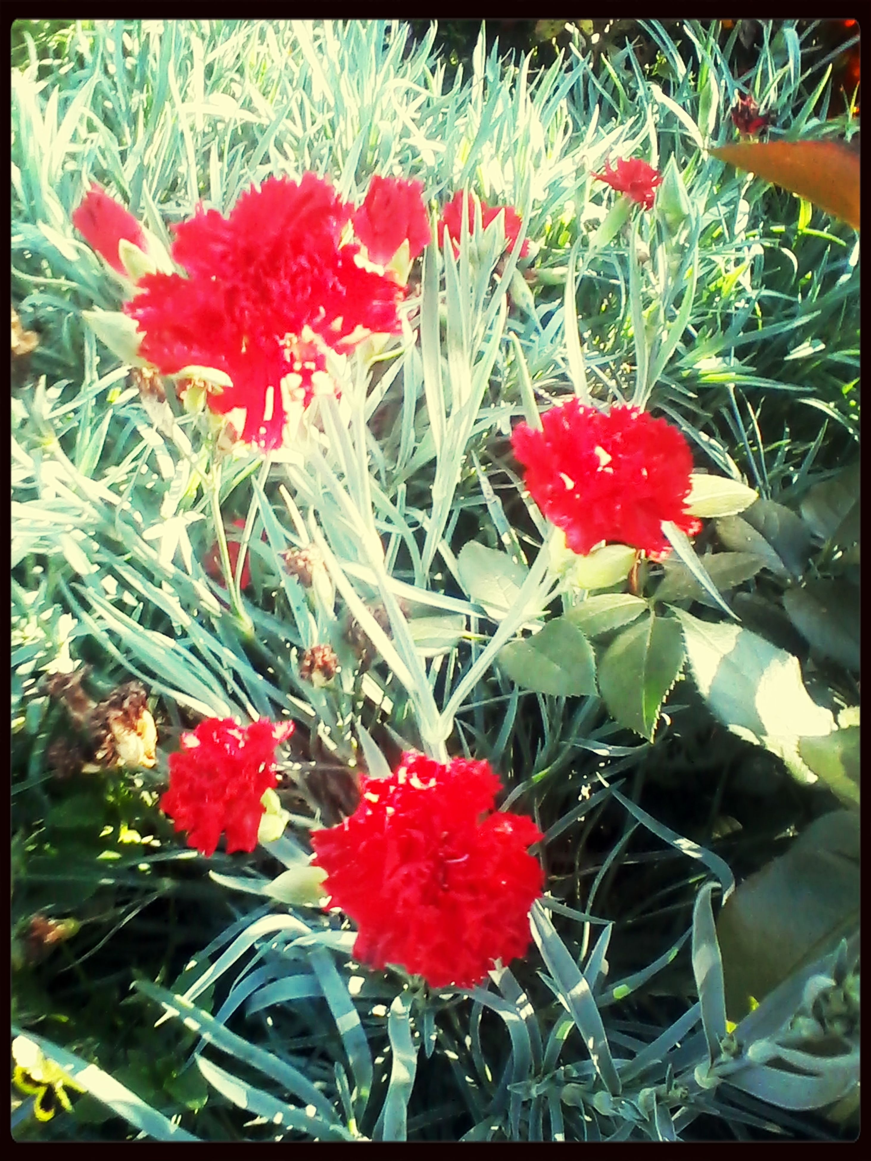 flower, red, freshness, transfer print, growth, fragility, petal, plant, beauty in nature, auto post production filter, flower head, nature, blooming, leaf, high angle view, field, close-up, poppy, in bloom, day
