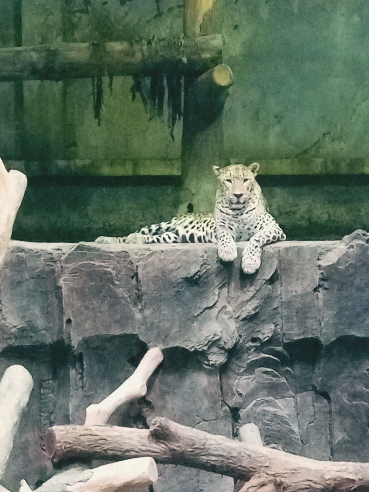 Leopard Animals In The Wild One Animal Leopard Animal Wildlife Animal Themes Day Nature Feline Mammal No People Endangered Species Beauty In Nature INDONESIA