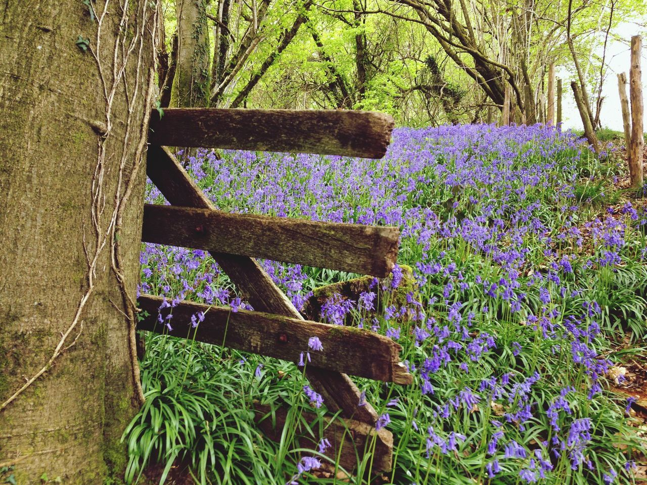Nature Growth Beauty In Nature No People Flower Plant Tree Freshness Wood - Material Day Outdoors Fragility Forest Close-up Bluebell Wood Bluebells Gate Wooden Gate Woodland Walk Wales