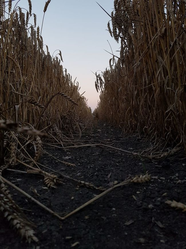 Clear Sky Nature Growth Tranquil Scene Tranquility Non-urban Scene The Way Forward Plant Sky Scenics Day Outdoors Beauty In Nature No People Diminishing Perspective Remote Long Corn Low Angle View Sunset Goldenhour Brown Dirt Nature Growth