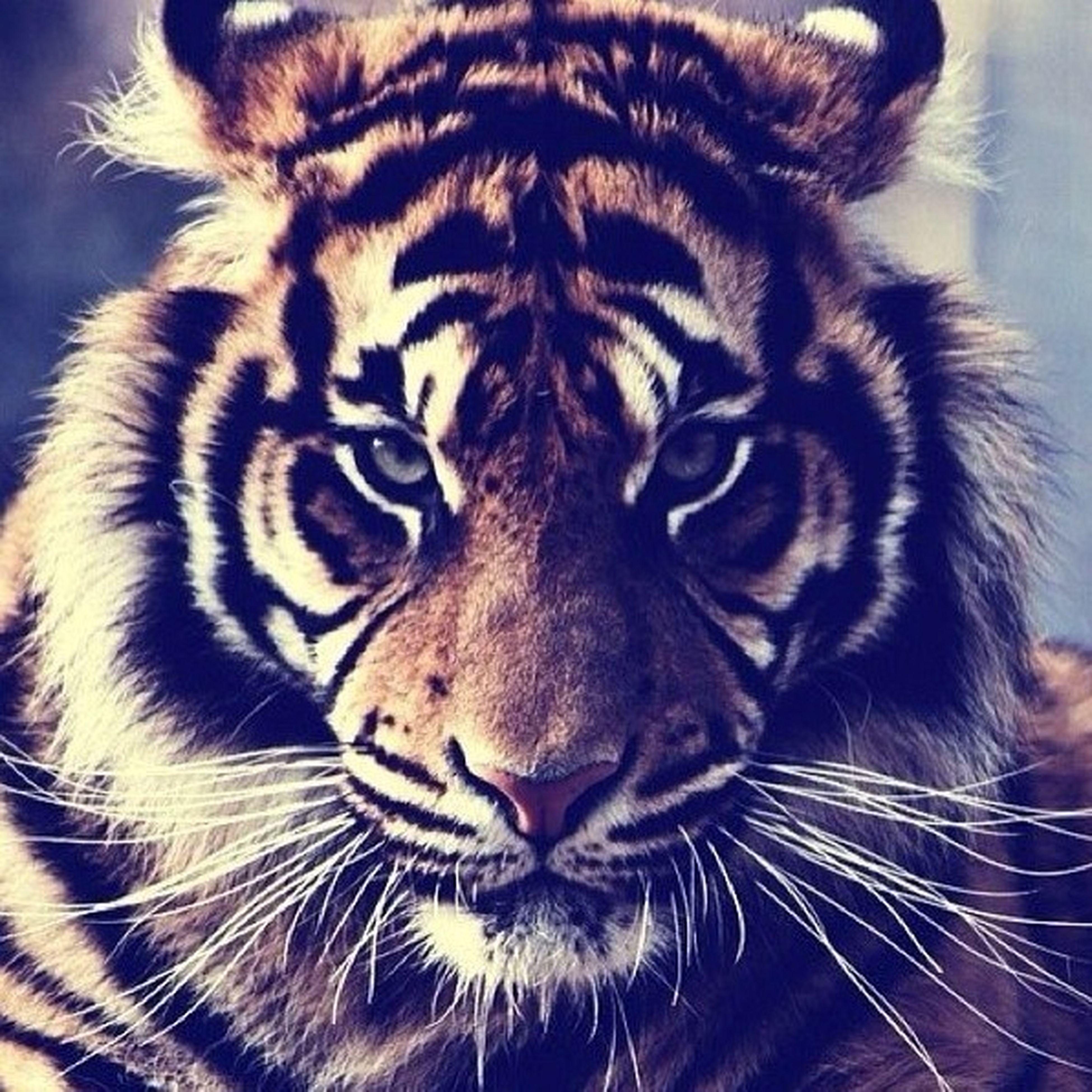 animal themes, one animal, mammal, animal markings, wildlife, animal head, close-up, animals in the wild, tiger, safari animals, animal body part, whisker, domestic animals, natural pattern, feline, carnivora, big cat, no people, portrait, zoology