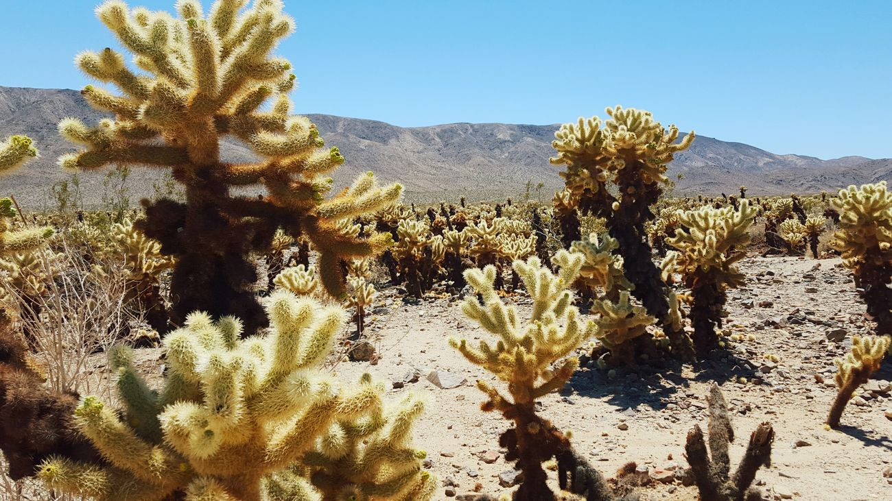 Desert Joshua Tree National Park Cactus Garden Sand Prickly Shades Dry California Hot Sun Deserts Around The World