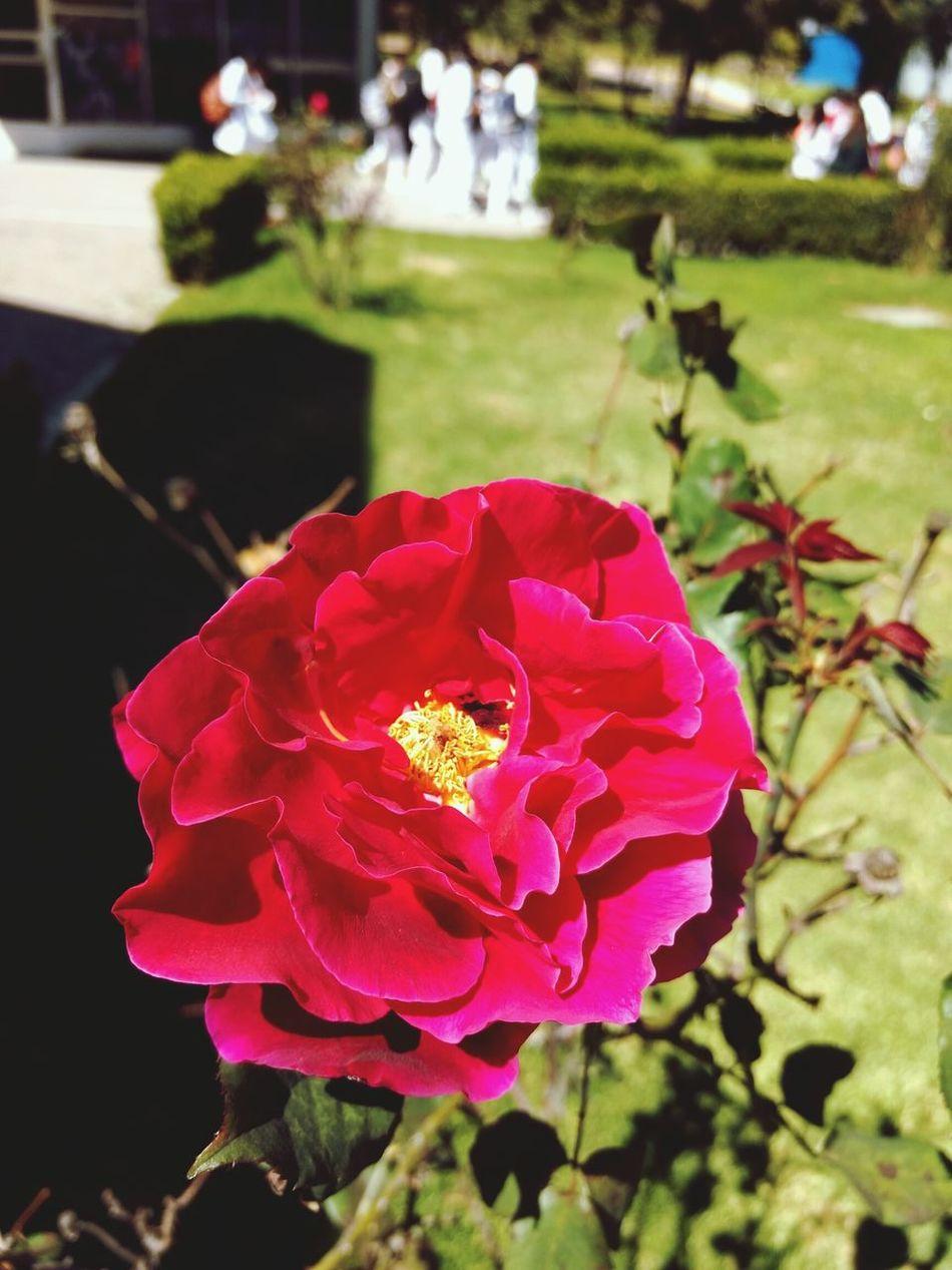 Flower Petal Flower Head Beauty In Nature Nature Plant Single Flower Nature Garden Rose - Flower Botany
