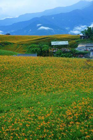 Orange Daylily Hualien, Taiwan