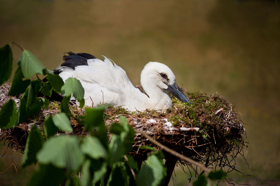 Orphaned White Stork or Ciconia ciconia child sitting in nest. One lonely young stork in small fake nest imitating natural home, twig with fresh leaves around it. Bird is tourist attraction in Kadzidlowo Wild Animals Park in Poland. Ruciane Nida district, summertime. Polish Kadzidlowo Park Dzikich Zwierzat. Blurred background and horizontal orientation. Animal Bird Child Ciconia Ciconia Ciconia Ciconiaciconia Ciconiidae Nature Nest No People One Animal Orphaned  Poland Seat Sitting Stork Stork Nest Young