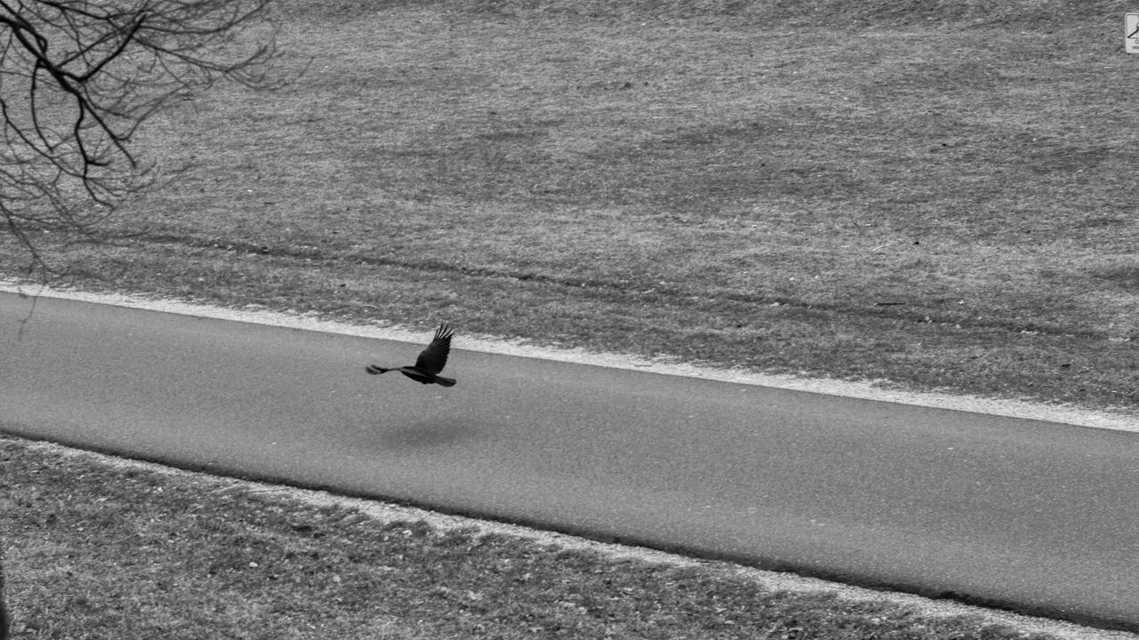 One Animal Day Outdoors Nature Mammal Dark Blackandwhite Black & White Black Crow Bird Birds Street Flying Flying Bird Deutschland Nuernberg Nuernbergcity