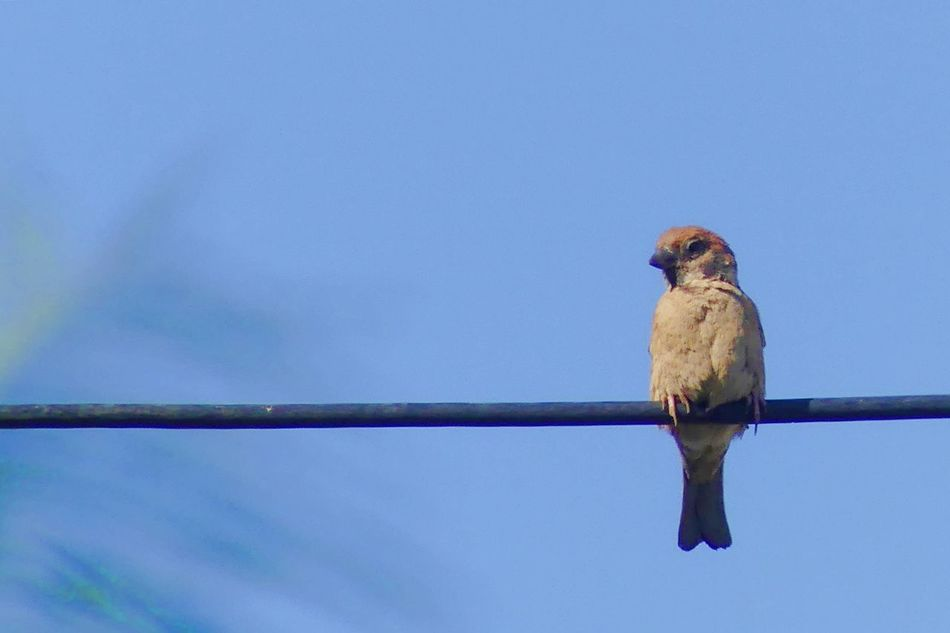 Sparrow on Cable Animal Themes Animal Wildlife Animals In The Wild Bird Blue Cable Clear Sky Close-up Day Low Angle View Mammal Nature No People One Animal Outdoors Perching Sky Sparrow Sparrow On Cable นก นกกระจอก นกบนสายเคเบิล