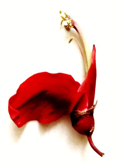 Red No People Flower Nature White Background Indoors  Ceibo CeibaTree Ceiba Flawer Petals🌸 Red Petal Ceibo Flawer
