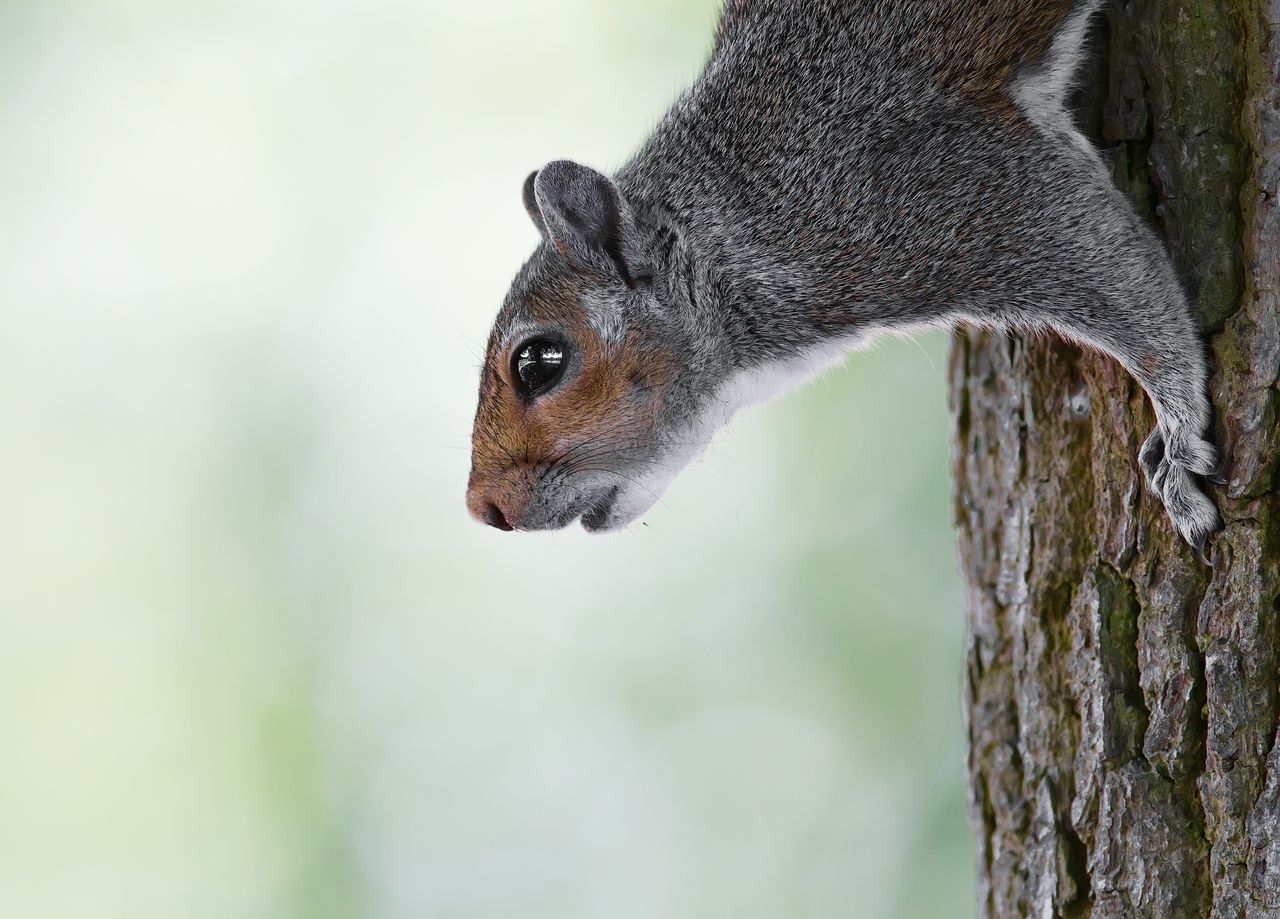 Beautiful stock photos of squirrel, Alertness, Animals In The Wild, Bark, Crawling