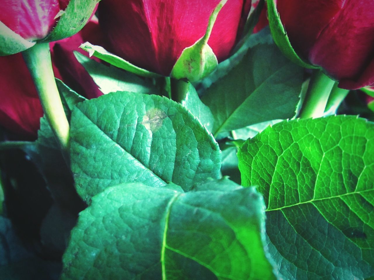 3 and 4 Nature Growth Flower Plant Leaf Red Beauty In Nature Fragility Freshness Green Color Full Frame Close-up Backgrounds Outdoors No People Flower Head Day Beauty In Nature Complexity Green Color Freshness Roses Red Roses Romance