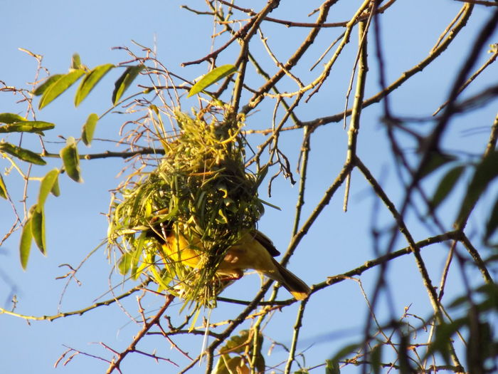 A male southern masked weaver (ploceus velatus) building his nest I Like Birds South African Bird Southern Masked Weaver Bird Animal Themes Animals In The Wild Beauty In Nature Bird Birds Close-up Day Green Color Growth Nature No People One Animal Outdoors Sky Springtime EyeEmNewHere