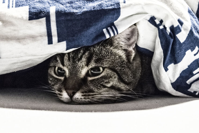 Animal Themes Close-up Domestic Animals Domestic Cat Feline Hiding Indoors  No People One Animal Pets Under Blanket