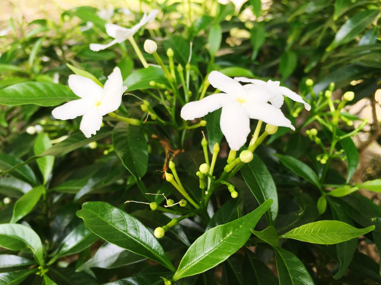 flower, leaf, growth, plant, petal, nature, fragility, white color, freshness, green color, beauty in nature, day, no people, blooming, outdoors, flower head, close-up, periwinkle