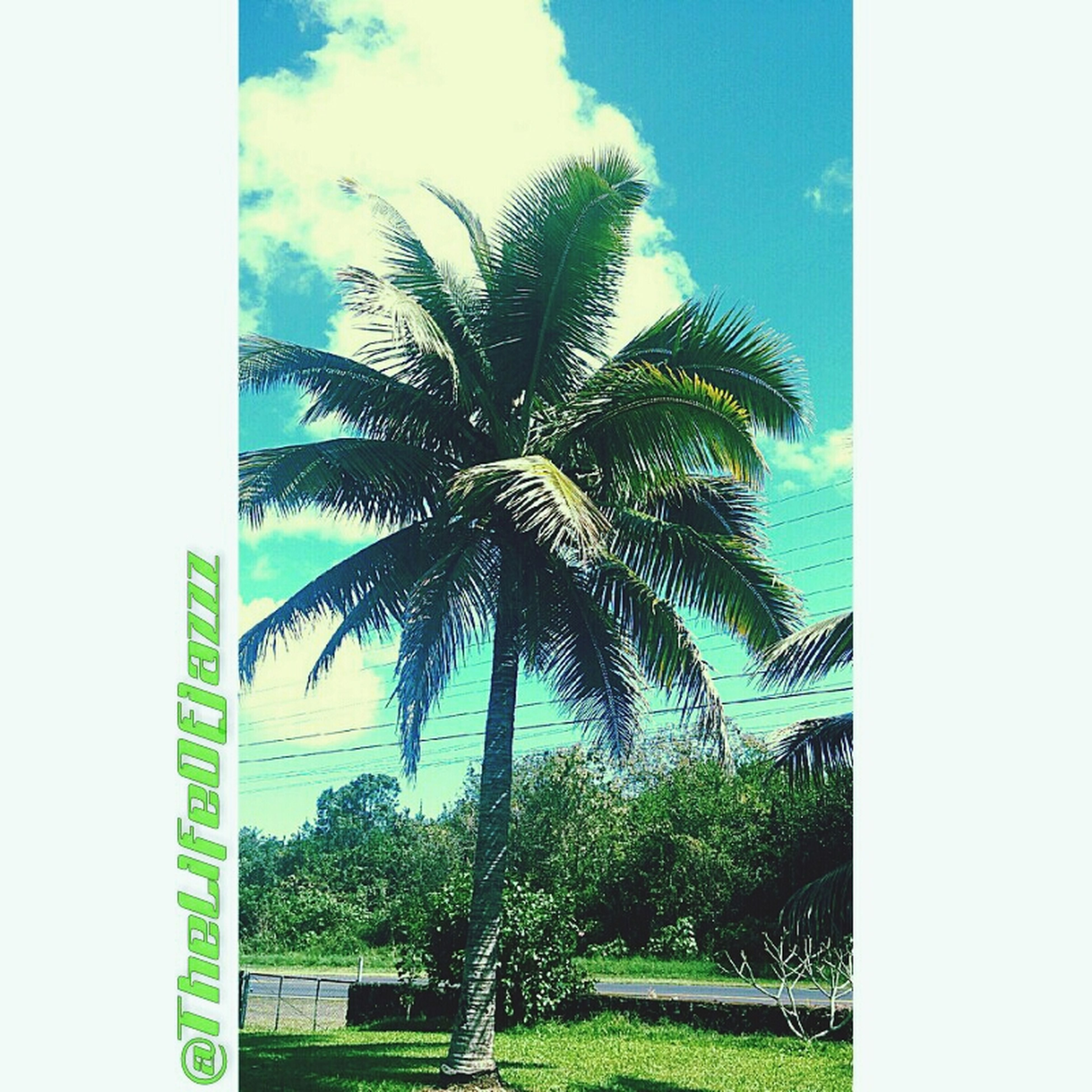 palm tree, tree, green color, growth, sky, transfer print, auto post production filter, nature, grass, green, tree trunk, tranquility, day, beauty in nature, blue, field, outdoors, clear sky, tranquil scene, low angle view