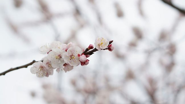 Spring Flowers Beauty In Nature EyeEm Nature Lovers Apricot Blossoms