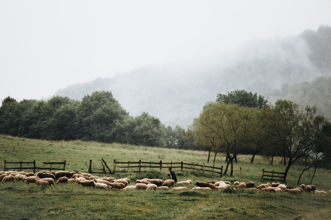 Animal Themes Beauty In Nature Day Domestic Animals Field Flock Of Sheep Fog Foggy Grass Grazing Landscape Large Group Of Animals Livestock Mammal Mountain Mountain Range Nature Nature No People Outdoors Scenics Sheep Shepherd Sky Tree