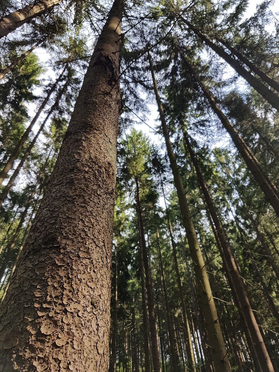 tree trunk, tree, forest, nature, tall - high, low angle view, growth, beauty in nature, day, outdoors, tranquility, no people, bamboo grove, tranquil scene, woodland, bamboo - plant, scenics, branch, tall, tree area, sky