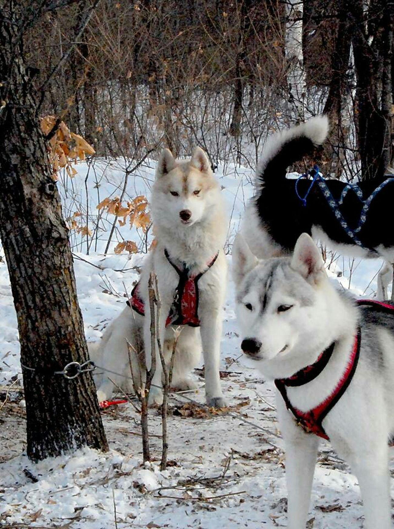 Starting A Trip Huskypuppy Husky Huskyphotography Husky Love Siberian Husky ХаскиСозданыДляЛаски ХаскиГолубыеГлазки хаскисозданныдляласки хаски