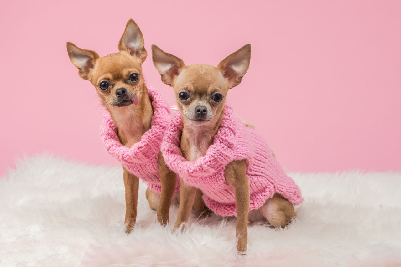 Chihuahua with pink sweaters Chihuahua - Dog Close-up Colored Background Dog Dressed Dressed Dog Looking At Camera Multi Colored No People Pets Pink Background Pink Color Pink Sweaters Portrait Purple Small Studio Shot Youth Culture