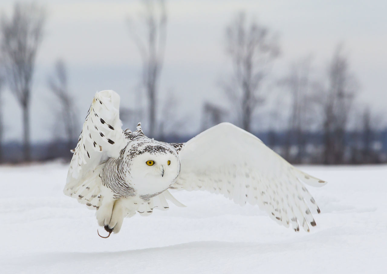 Snow owl hunting Animal Body Part Bird Cold Temperature Day Hunting Nature No People Outdoors Owl Snow Snow Owl Spread Wings White Color Winter