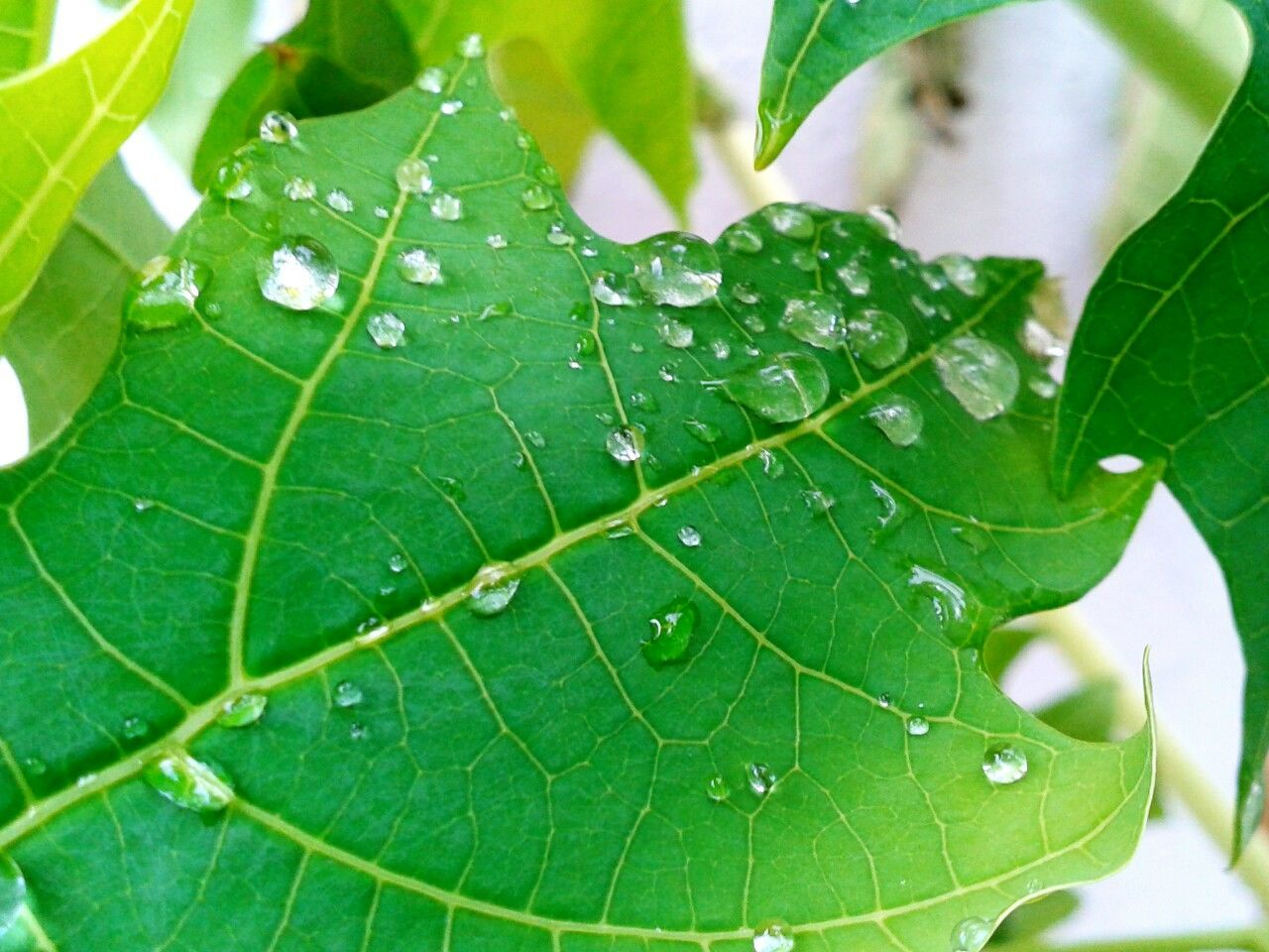 Beauty In Nature Close-up Day Drop Fragility Freshness Green Color Growth Leaf Nature No People Outdoors Plant Water Wet Rain Drops Rain Drops On Leaves