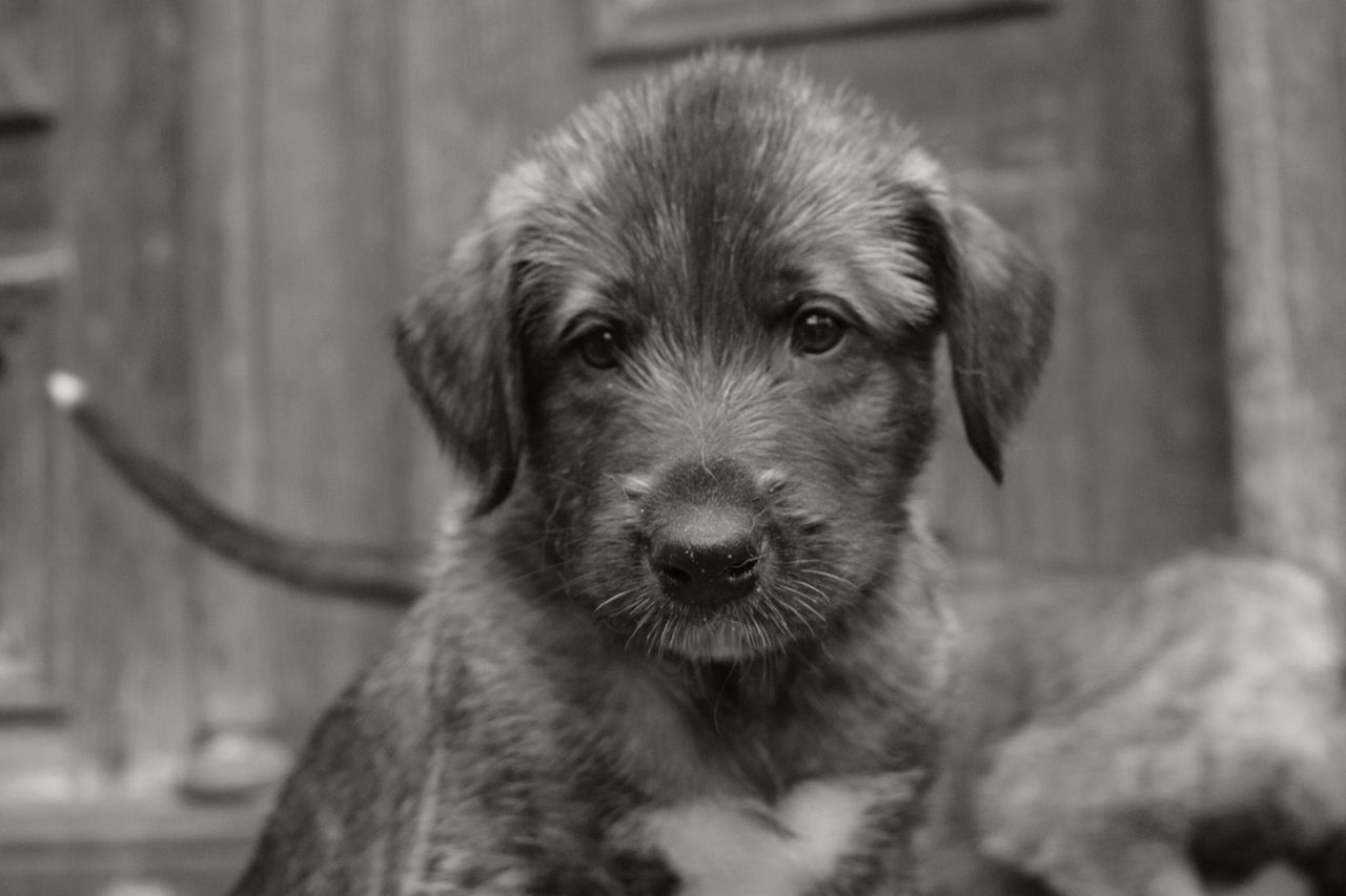 Monochrome Blackandwhite Looking At Camera One Animal Pets Portrait Dog Looking At Camera Puppy Love Dog Of The Day Bokeh Dogwalk Dogs Of Winter Dogs Of EyeEm Irish Wolfhound From My Point Of View How Is The Weather Today? Dogslife Winter 2017 February 2017 Petscorner Close-up