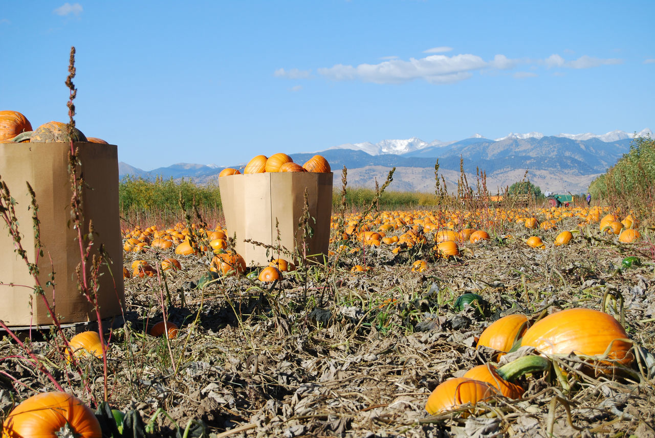 Beautiful stock photos of halloween, Agriculture, Beauty In Nature, Box - Container, Cardboard
