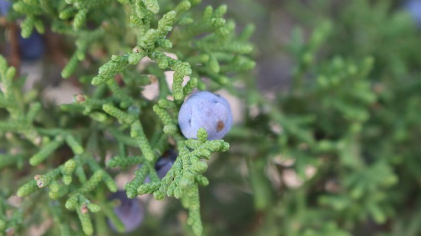 No People Growth Green Color Plant Nature Day Close-up Beauty In Nature Fragility Tree Juniper Berries Pine Outdoors
