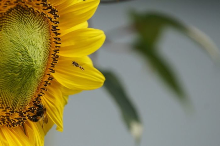 Sunflower Sunflowers Flowers Yellow Flower Insect Schwebefliege Eye4photography  Open Edit EyeEm Best Shots Tadaa Community AMPt_community Garden Photography