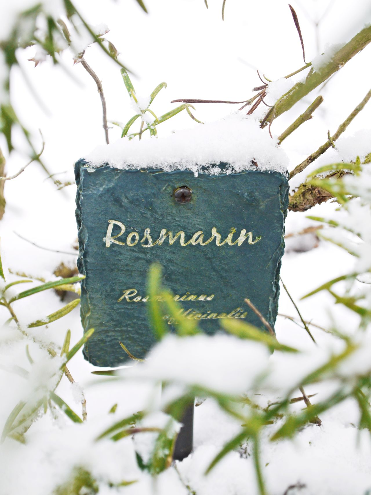 Close-up Day Focus On Foreground Green Color Herbal Garden Nature No People Outdoors Plant Rosmarin Signboard Snow Text Tree Winter