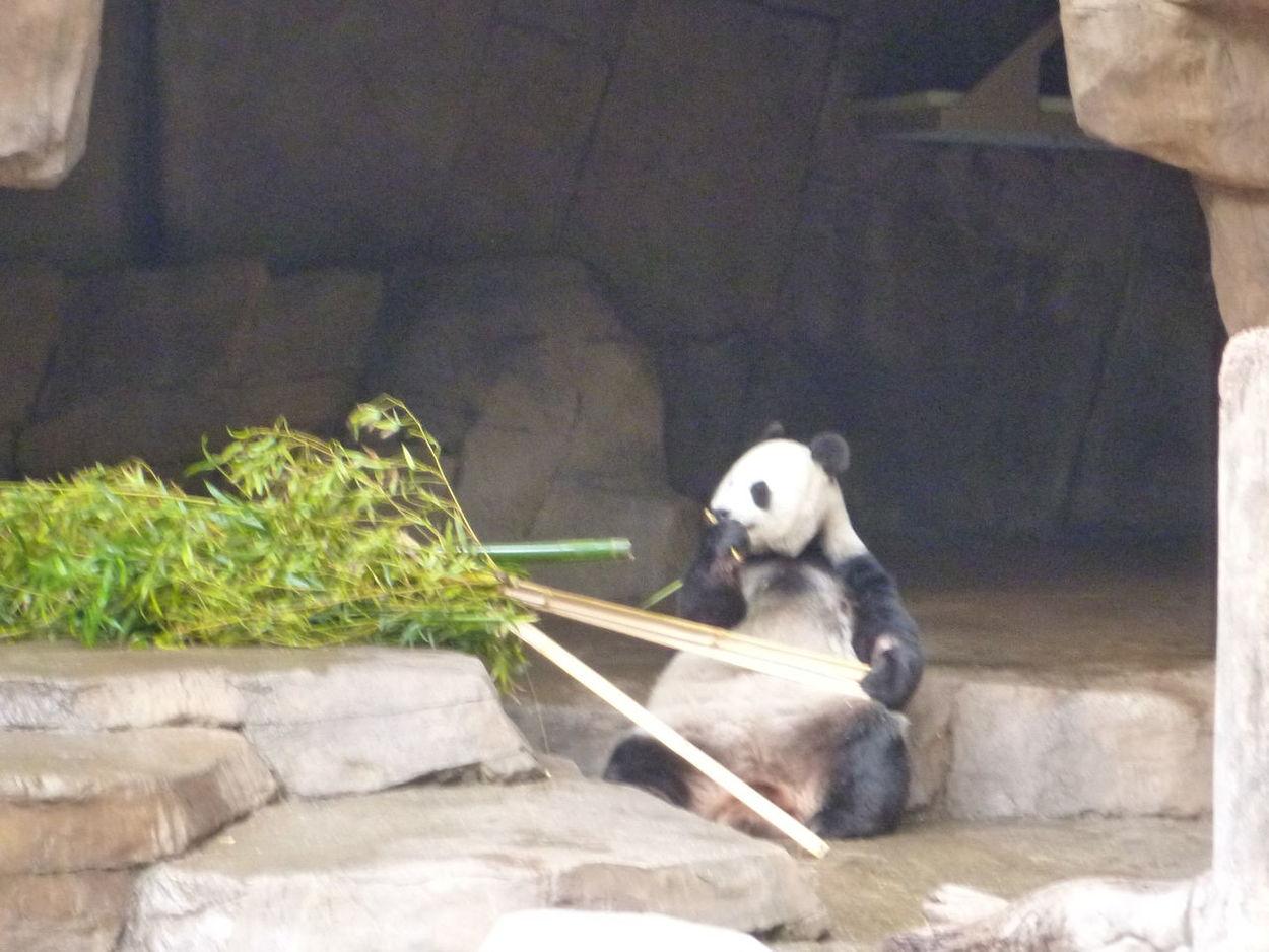 Day One Panda Panda Awake Panda Chomping Panda Laid Back Panda Sitting And Eating Panda Sitting Up Panda With Bamboo