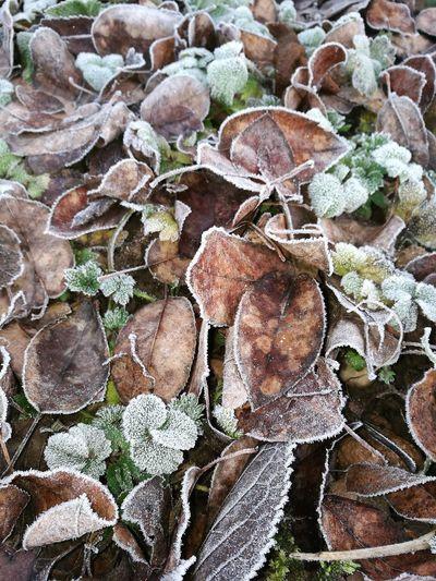 Wintermorgen 1 Blätter Mit Raureif Outdoors Blätter Wintertime Frost Laub Kalt Braun Wallpaper