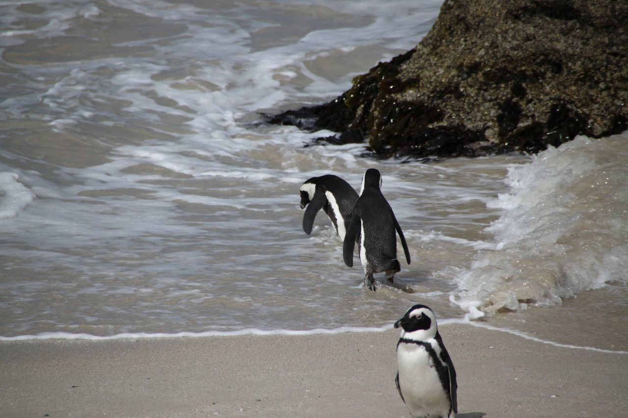 Pinguin Animals Bird Birds Boulders Beach Bouldersbeach Penguin Penguins Pinguin Seabirds Vogel