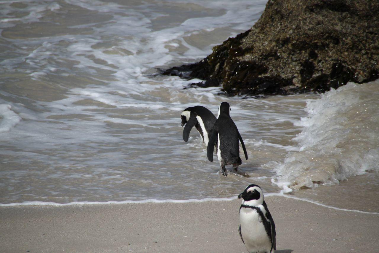 Pinguin Animals Bird Birds Boulders Beach Bouldersbeach Penguin Penguins Pinguin Seabirds Vogel