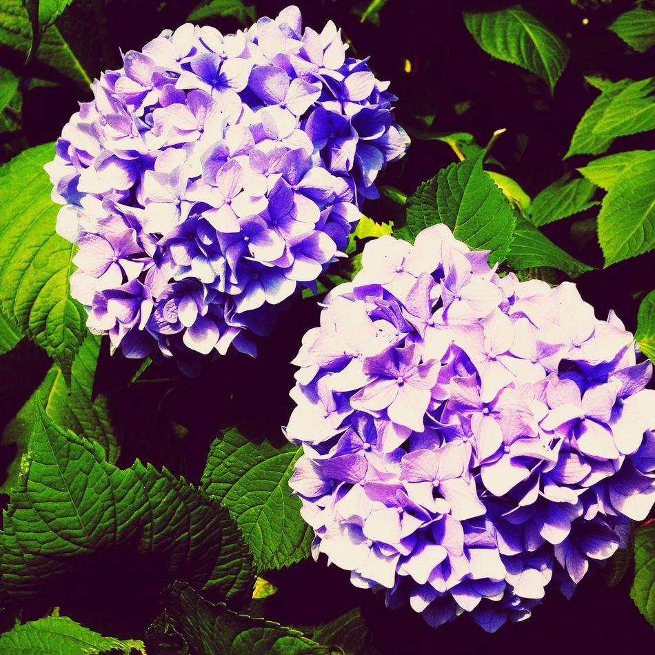 Flower Natura Love 紫陽花 Photo