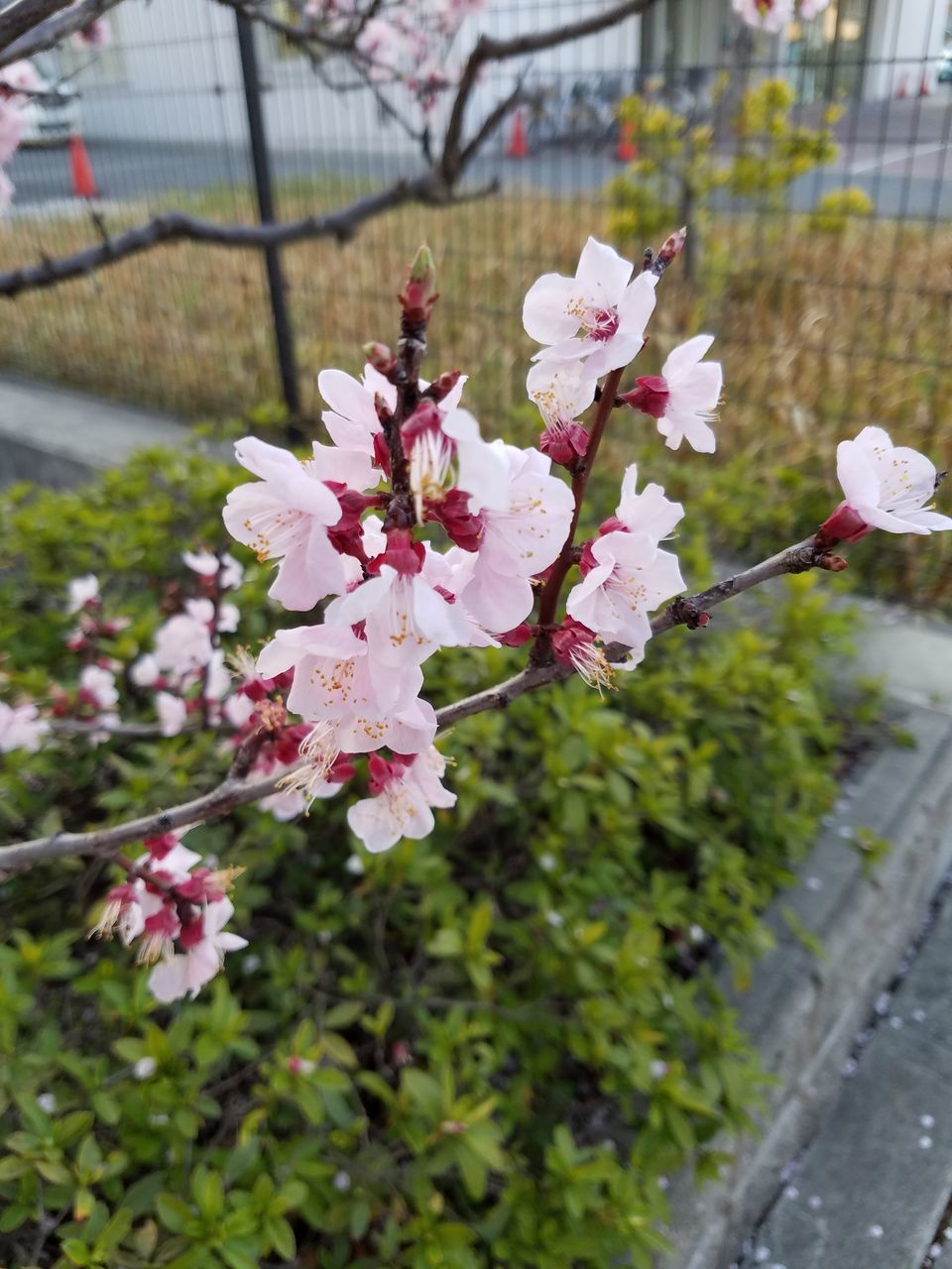 flower, fragility, beauty in nature, freshness, blossom, springtime, growth, nature, petal, botany, day, white color, flower head, focus on foreground, pink color, no people, tree, stamen, apple blossom, pollen, outdoors, branch, close-up, blooming, plum blossom, plant