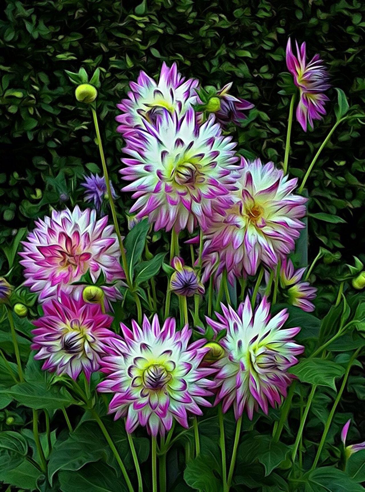 Flowers Creative Naturelover Flower Collection Dahlia Nature On Your Doorstep Flowers,Plants & Garden EyeEm Best Shots - Nature EyeEm Nature Lover Jopesfotos - Nature
