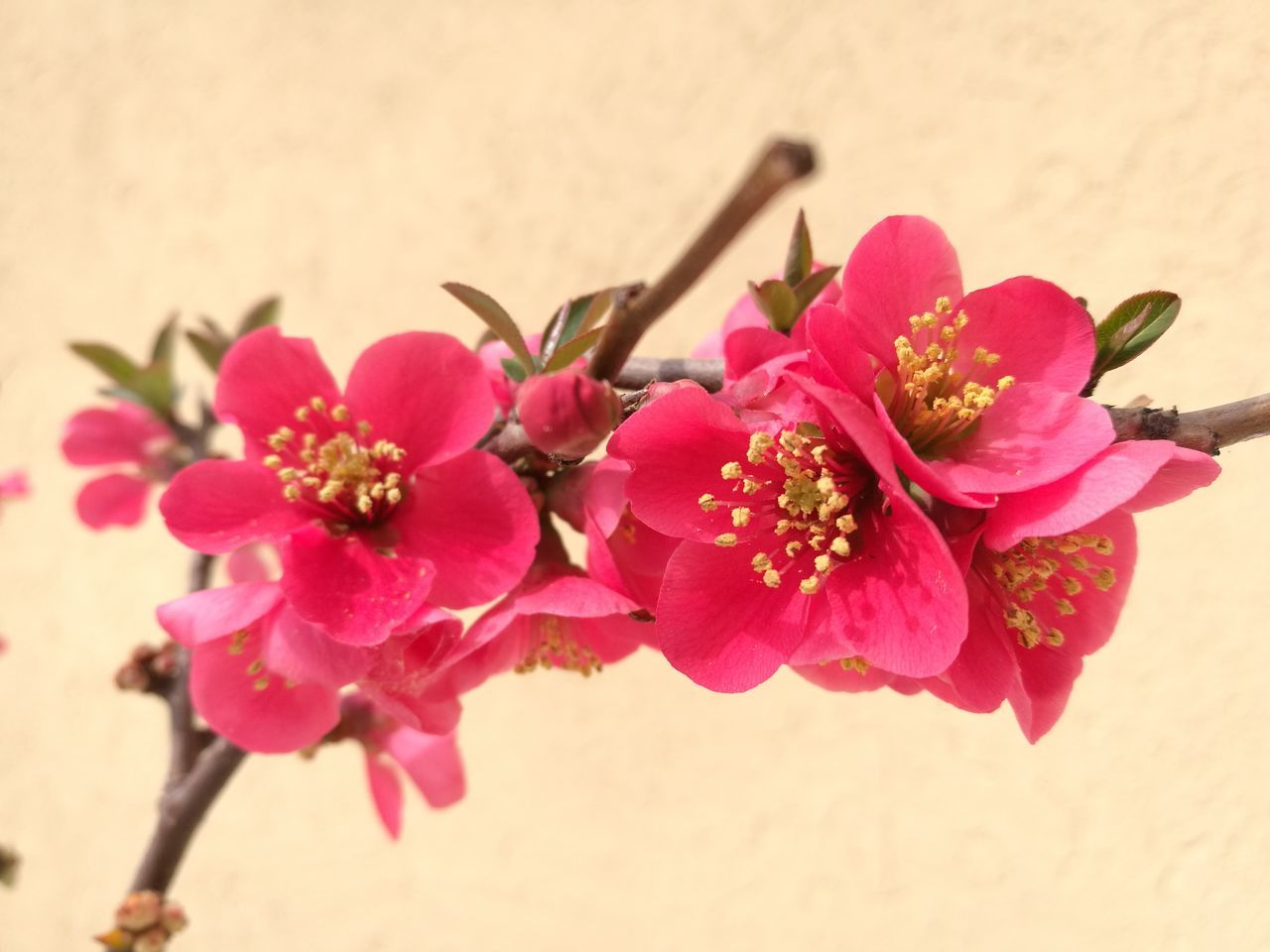 Flower Flower Head Nature Fragility Freshness Beauty In Nature Blossom Springtime Chaenomeles Japonica Millennial Pink Pink Chaenomeles Freshness Pink Color Petal Nature Beauty In Nature Plant Growth EyeEmNewHere