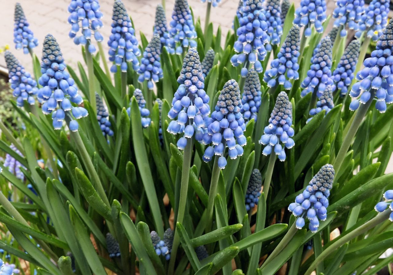 Blue springtime flowers Growth Flower Nature Plant Blue Hyacinths Hyacinth Flower Traubenhyazinthe Bright Blue Color Blue close-up Muscari Comosum