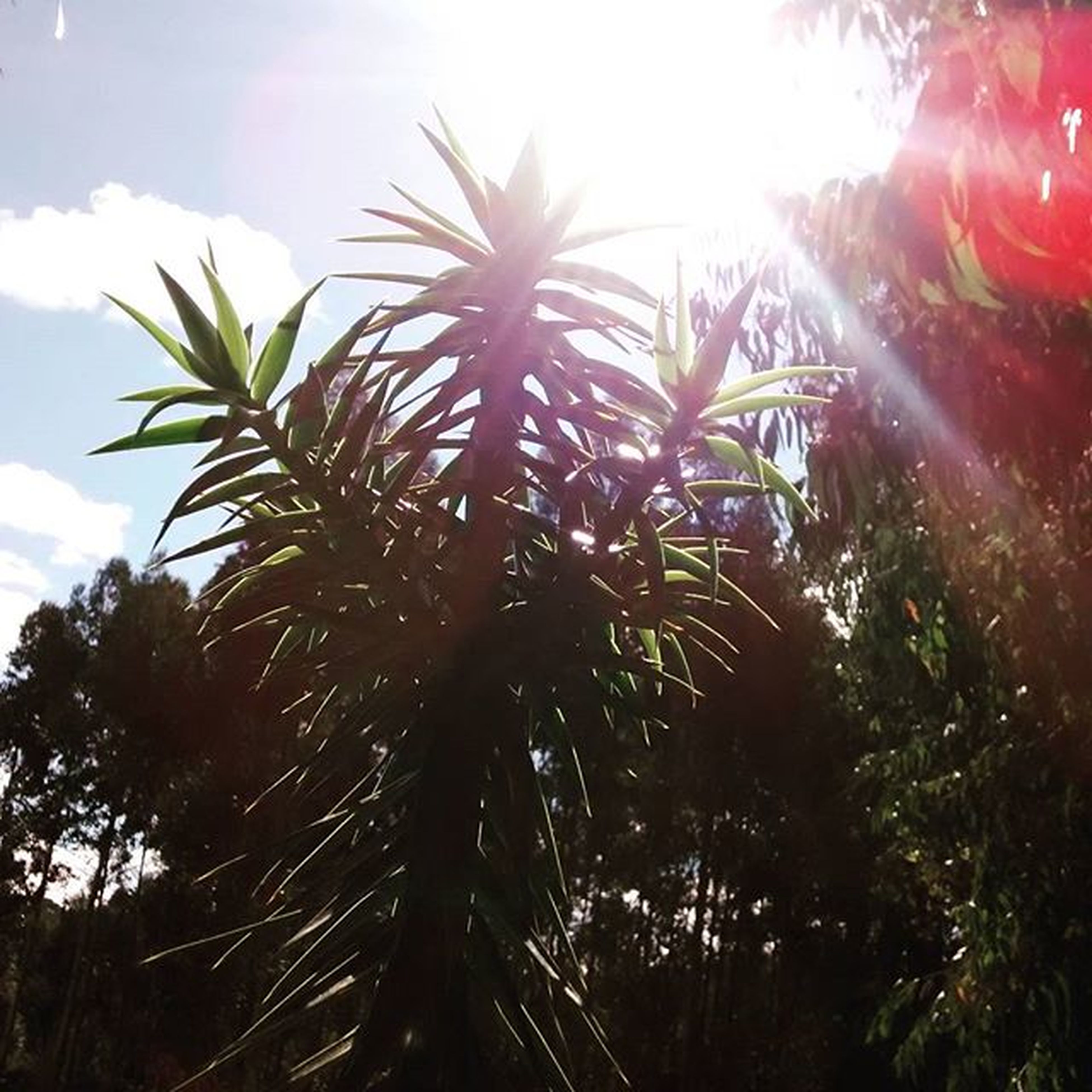 sun, sunbeam, lens flare, sunlight, tree, low angle view, growth, sky, nature, tranquility, sunny, bright, beauty in nature, day, leaf, no people, outdoors, tranquil scene, branch, plant