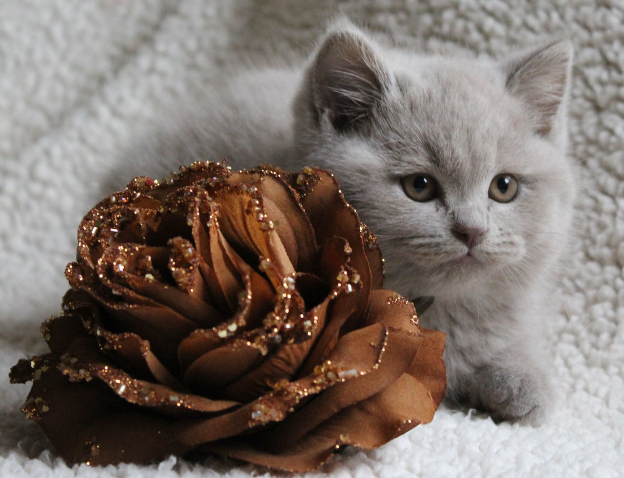 Close-Up Of British Shorthair Kitten With Artificial Brown Rose During Christmas
