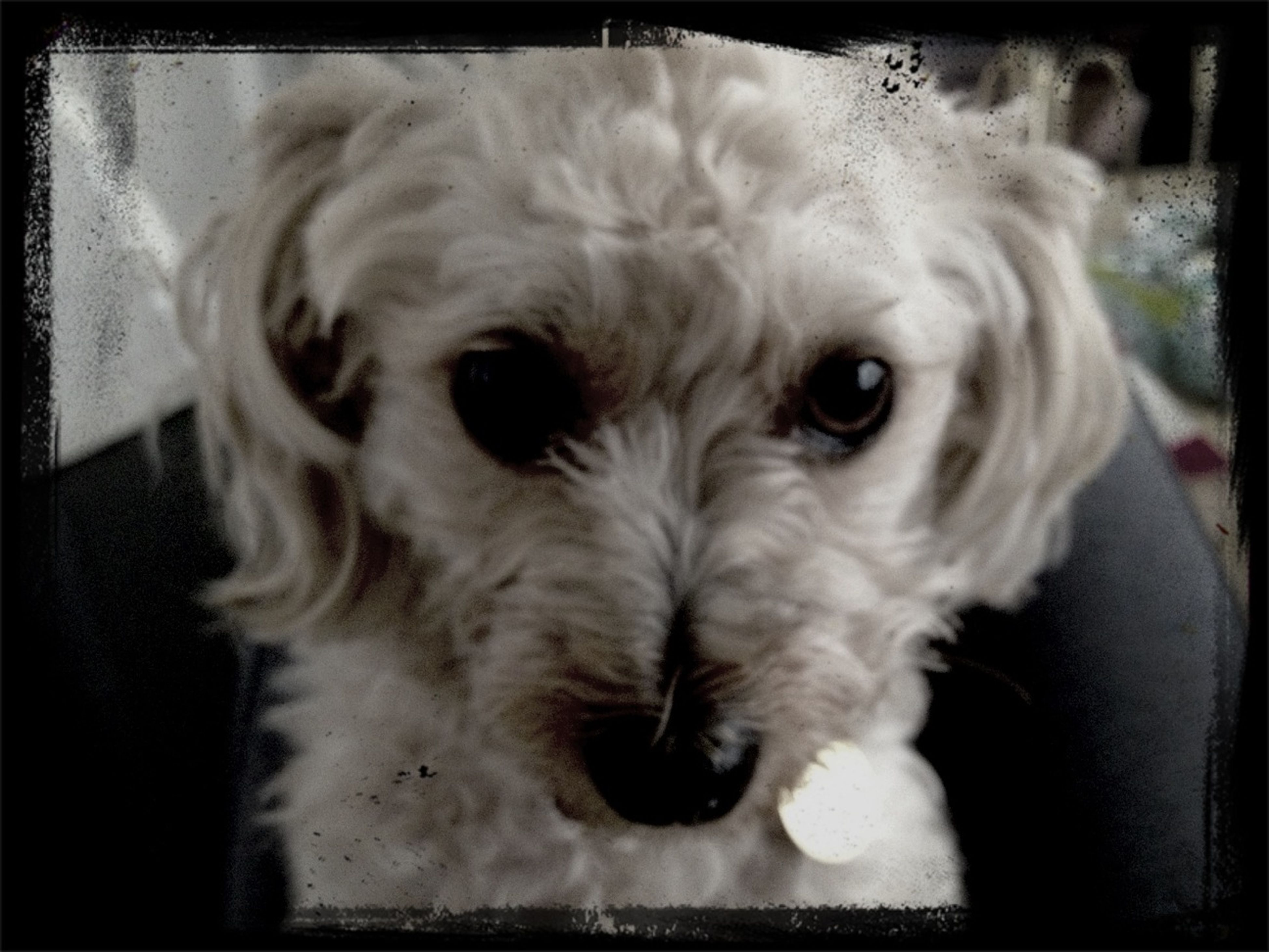 dog, transfer print, pets, domestic animals, animal themes, one animal, auto post production filter, mammal, indoors, looking at camera, portrait, close-up, animal head, vignette, high angle view, no people, front view, young animal, home interior, animal body part