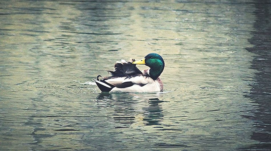 Water Bird Animals In The Wild Lake Swimming Day Outdoors Animal Themes No People Duck Swimmingducks Cleaning Autumn Explorenature Beauty In Nature Maleduck Hobbyphotography