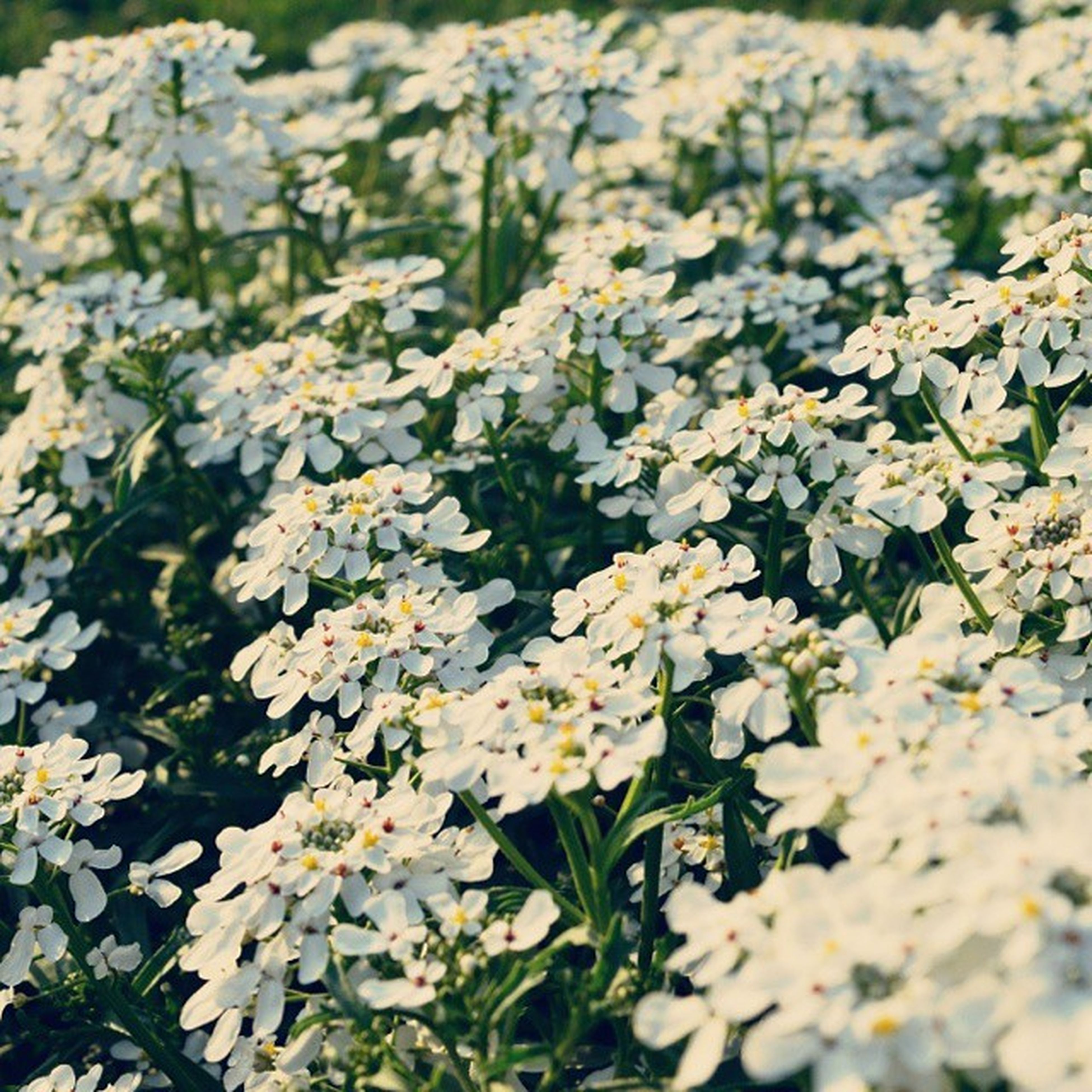 flower, growth, freshness, fragility, beauty in nature, petal, plant, nature, white color, blooming, flower head, field, high angle view, in bloom, abundance, leaf, close-up, blossom, day, outdoors