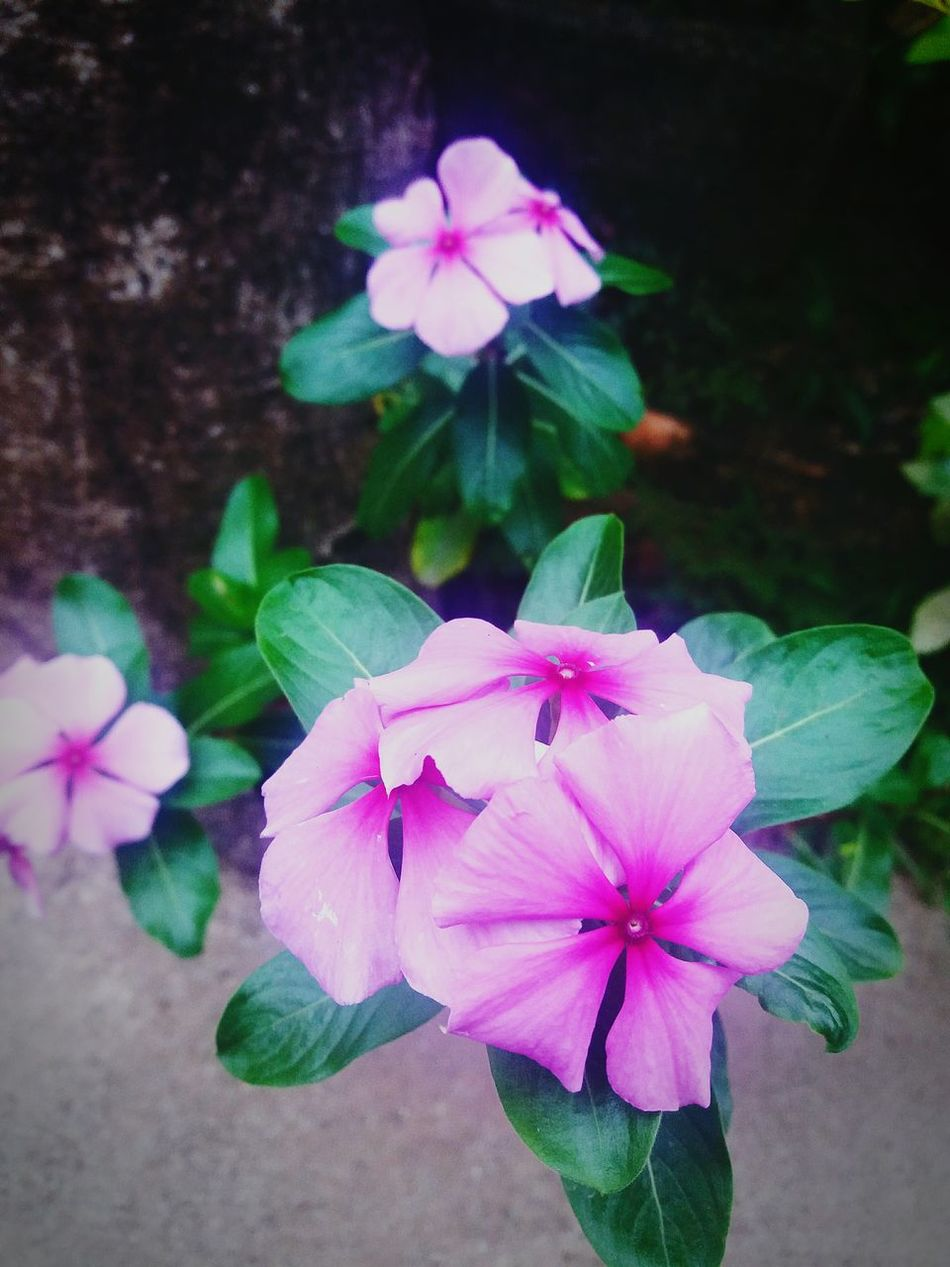 Flower Pink Color Plant Beauty In Nature Nature Day Bh Flowers Beauty Beautiful Fragility Petal Pink Green Color