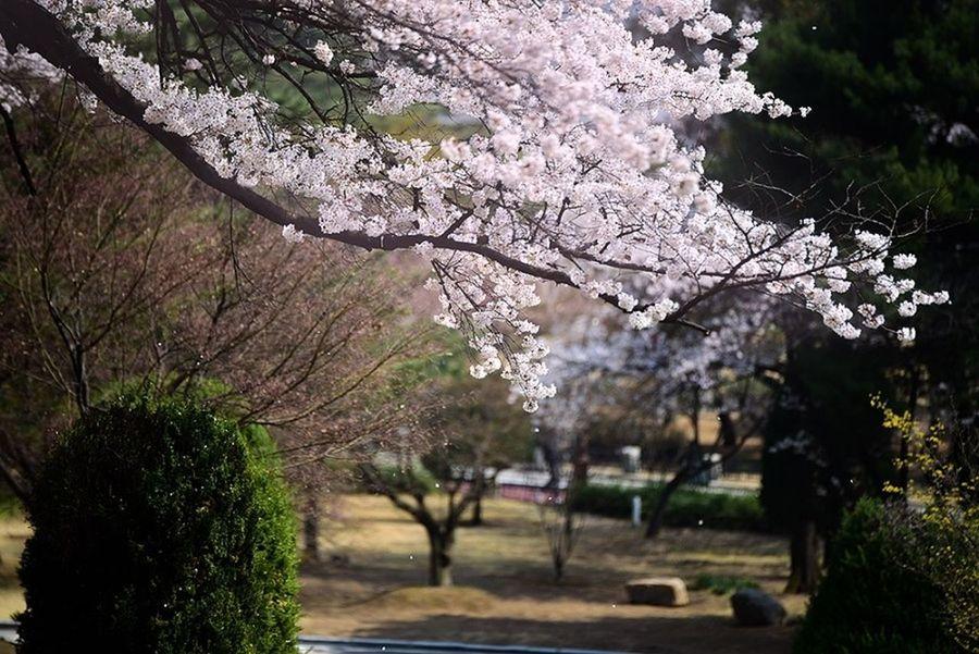 Cherry Blossoms D750 Flowers Korea National Cemetery Nikon Nikon D750 Seoul Snapshot Spring Flowers Tamron Tamron 70-200mm F/2.8 The 3rd Eye Photography